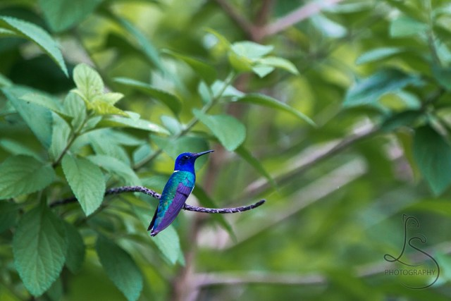 Blue hummingbird perched on a branch of a bush in Costa Rica | LotsaSmiles Photography
