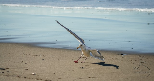Seagull landing on the beach in Seaside, OR | LotsaSmiles Photography