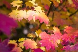 Autumn leaves bask in the Washington sunshine