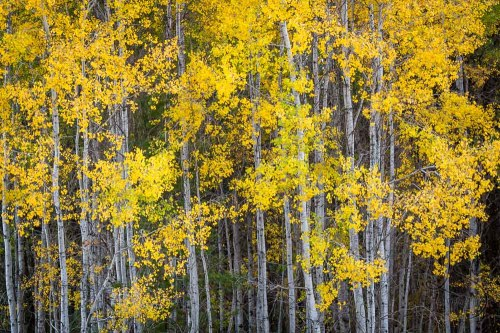 Tree trunks draped in golden autumn leaves | LotsaSmiles Photography
