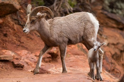 A big-horned sheep and her lamb cross a trail in Zion Nataional Park