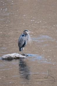 A blue heron at Smith Rock State park | LotsaSmiles Photography