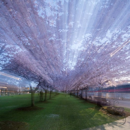 Spring cherry blossoms along Portland's Waterfront Park | LotsaSmiles Photography