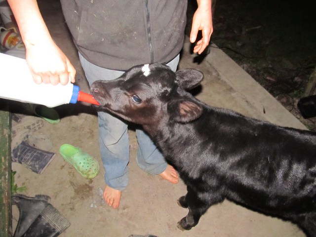 Our first calf for the year.  The boy who has taken over calf-feeding had trouble with the bottle, and the calf followed him up on the porch when he came to ask  me for help.