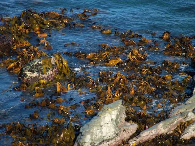 A bed of bull kelp.