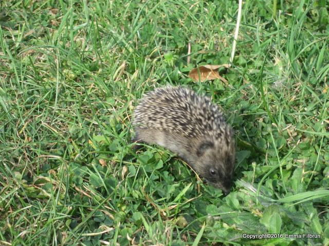 Baby hedgehog.