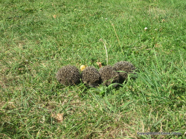 We saw four baby hedgehogs one afternoon in the yard. Unfortunately, they've been found stealing eggs from us.