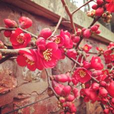 Pretty japanese quince