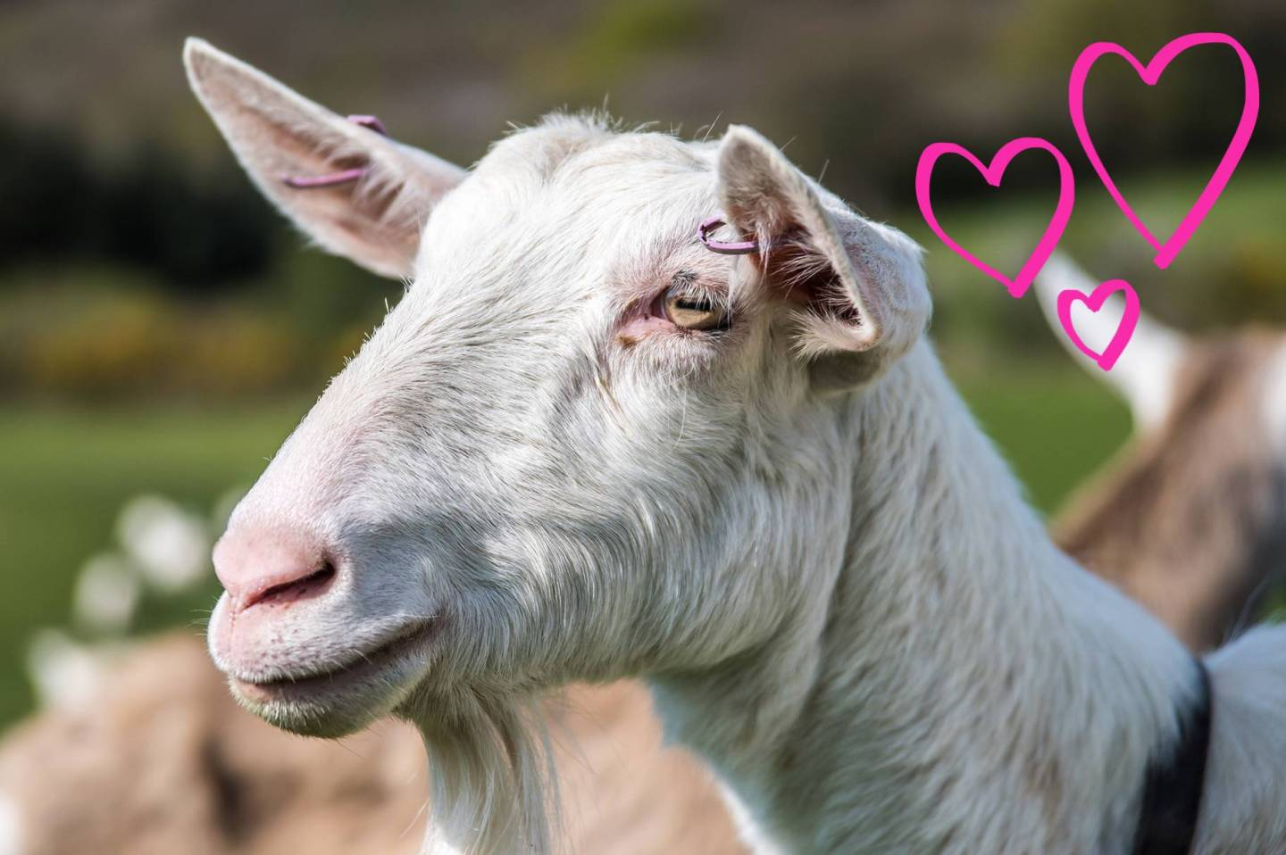 Could a goat help treat your rosacea?