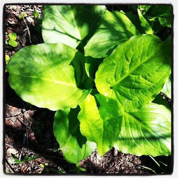 My obsession with skunk cabbage continutes