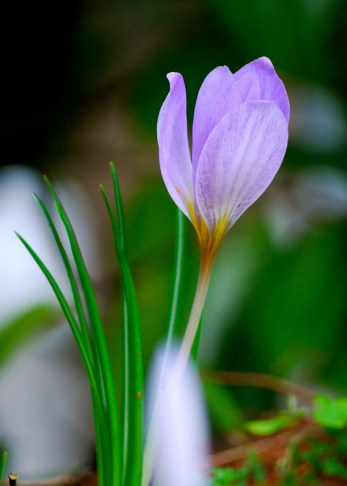 I think these are 'Crocus etruscus'. Again, please correct me if I'm wrong.