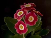 Primula auricula Rosebud