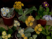 Primula auricula Loudhailer and Friends