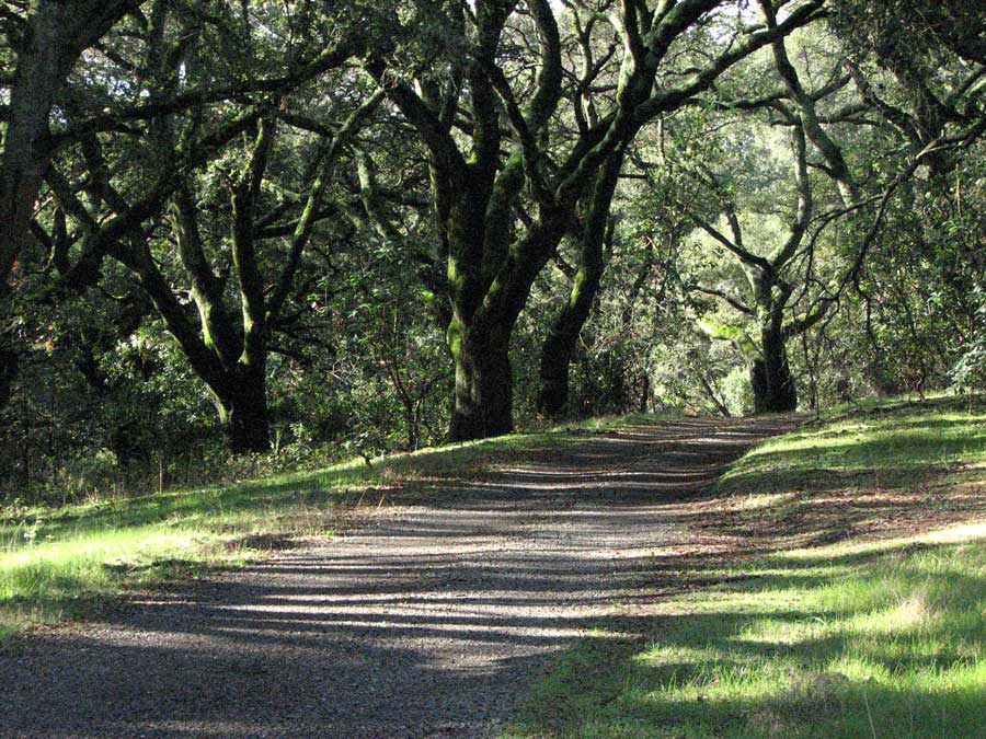 Road and Oaks