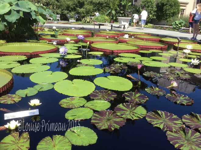 giant dinner plate water lilies at Longwood Gardens