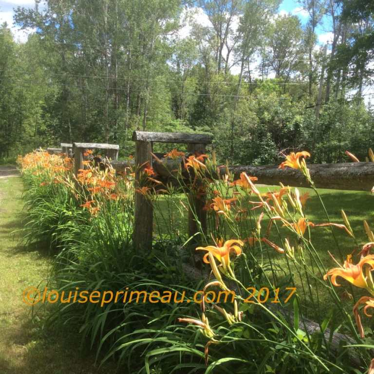 lilies at the fence - cottage life photography