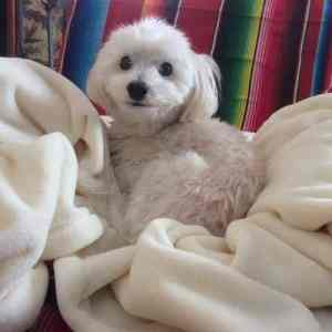 Meet the Artist - photo of a comfy Havanese