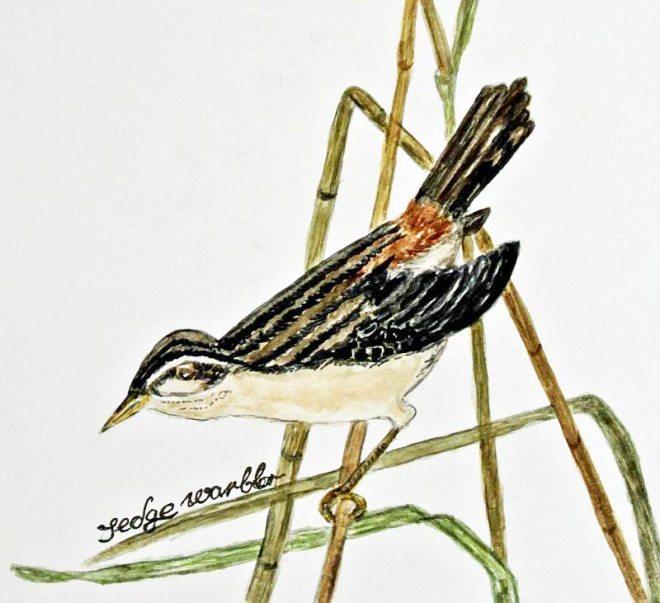 watercolour of sedge warbler