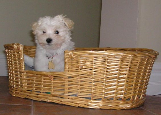 Puppy in a basket. Chico, Havanese. Louise's ARTiculations