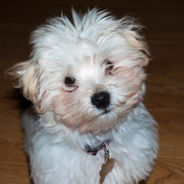 Chico, Havanese. Louise's ARTiculations