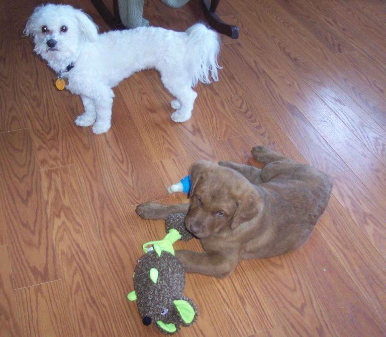 Havanese and Chesapeake puppies