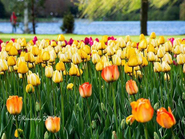Canadian Tulip Festival 2019. Photo by K.E. Kennedy