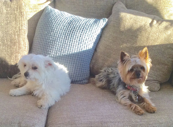 Maltese and Yorkie enjoying sunshine