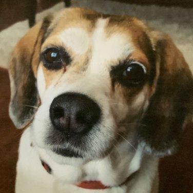 Reference photo of Daisy, a beagle