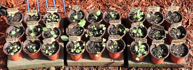 Fall Garden seedlings for Zone 9A