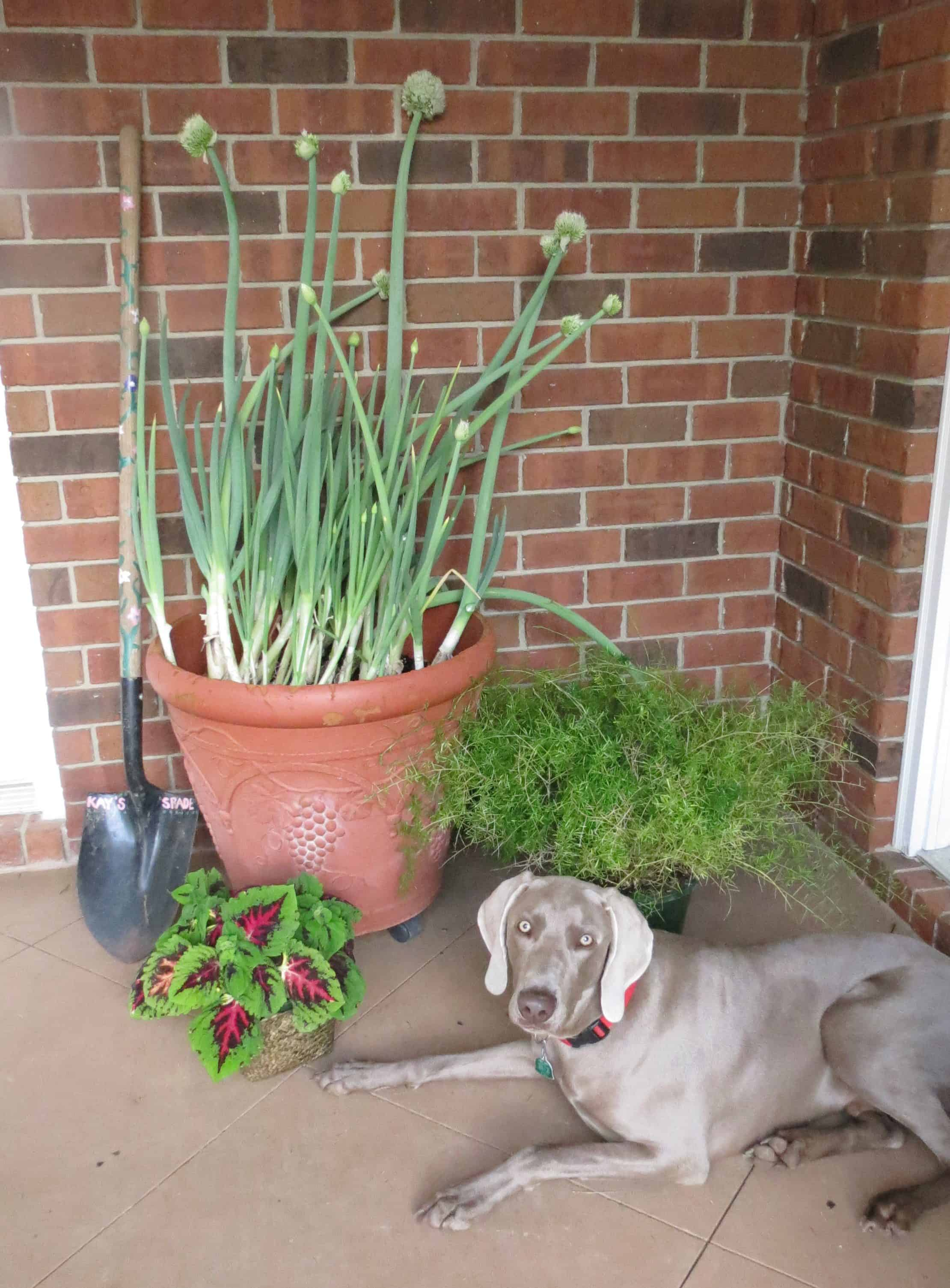 Live Oaks and Green Onions (Fresh Herb Dip)