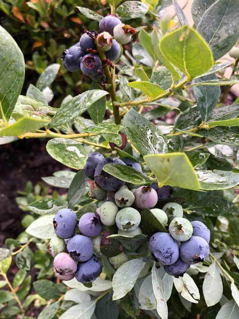 Blueberry bushes.