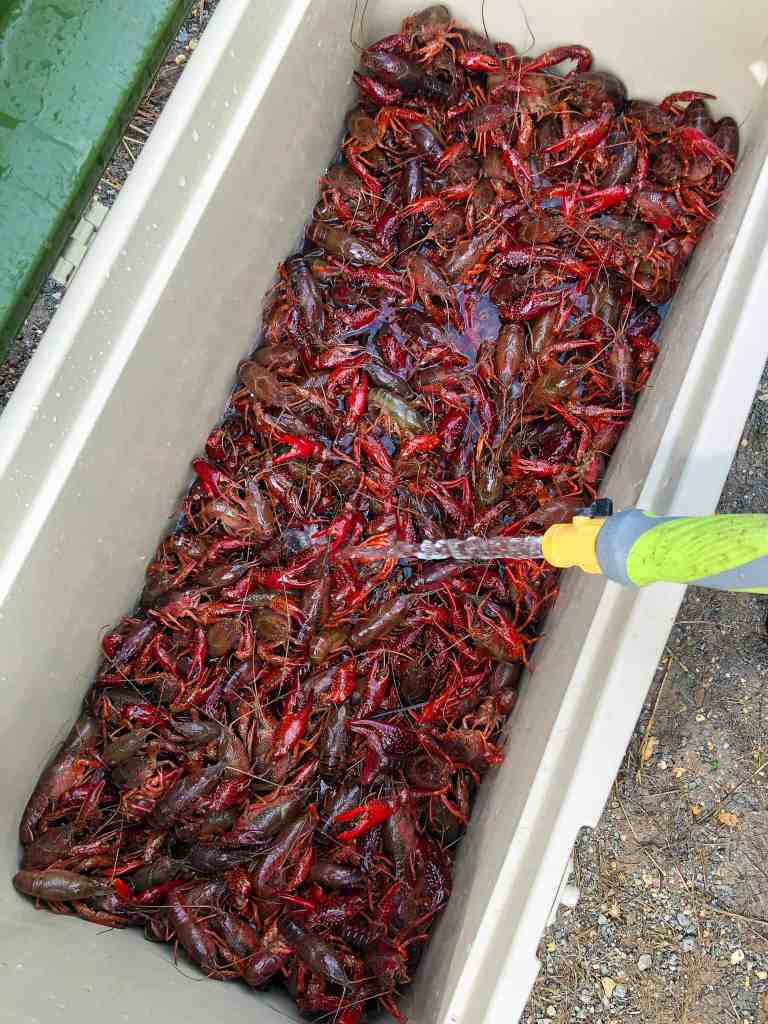 An ice chest with live crawfish.