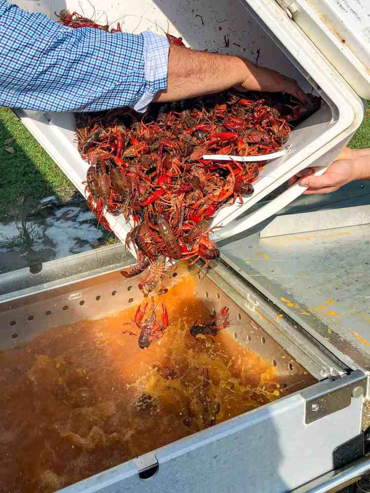 Dropping live crawfish into a cooker.