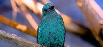 Fairy Bluebird at the Louisville Zoo