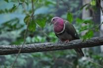 pink-neck dove