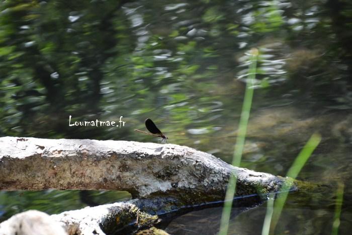 libellule noire