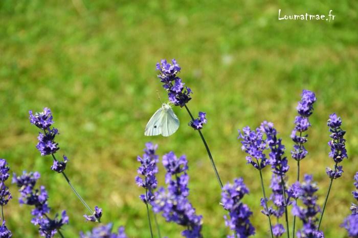 papillon sur lavandes