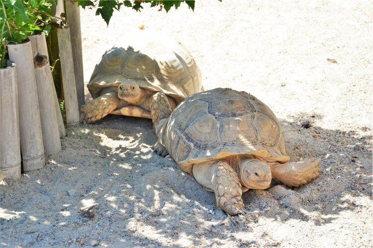 tortues géantes sillonnées