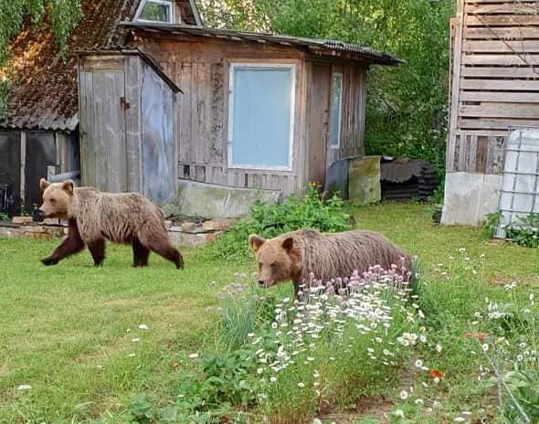 Valgas ringi jooksnud noored karud tahetakse maha lasta