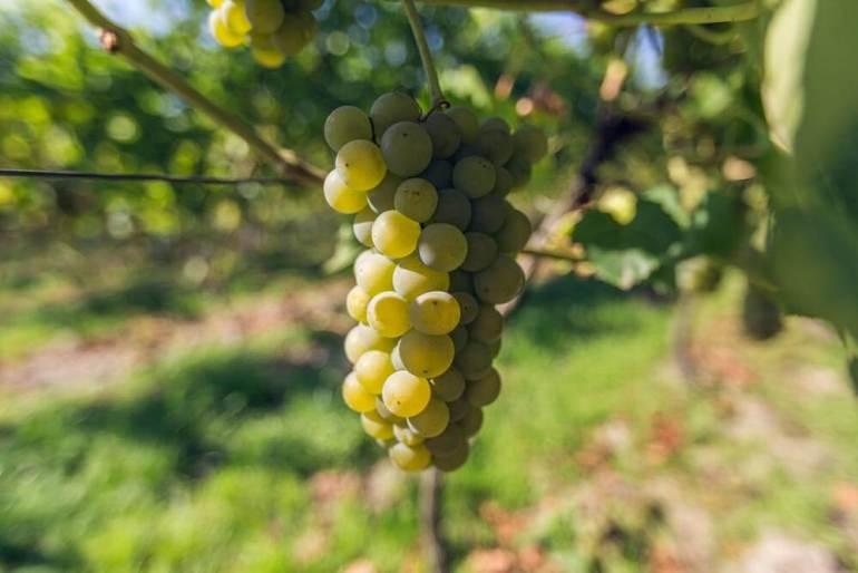 dobre wino WPolsce też może powstać dobre wino [wywiad] 2