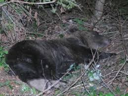 L'ourse Sarousse a été tuée : en 2020, déjà trois ours des Pyrénées tués par des hommes