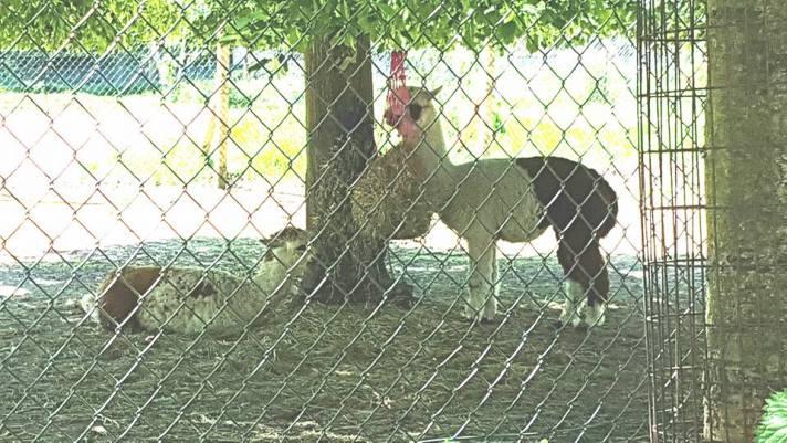 alpaca 2