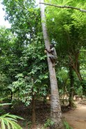 Shimmying up the tree to get our coconut