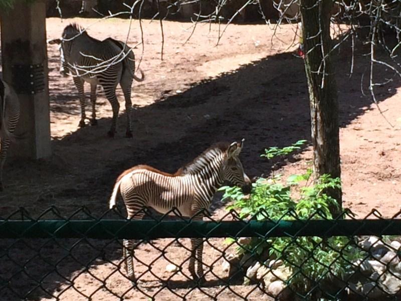 2016_07_06 longman eagle, zebra, conservatory 012