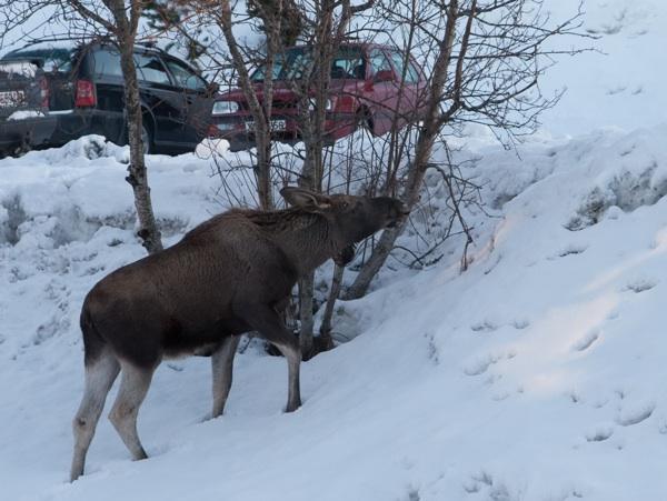 moose-1-small