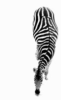 10-25 zebra
