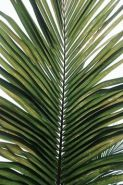 3-20 palm frond