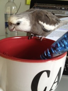 The grey and white lorikeet prepares to use his long and sensitive tongue to probe the delicacy.