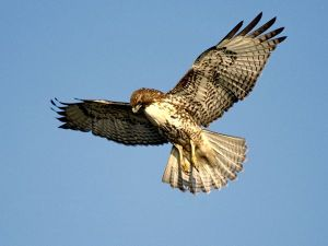 """A """"red-tailed hawk"""" - and clearly a hungry one (image courtesy of National Geographic)."""