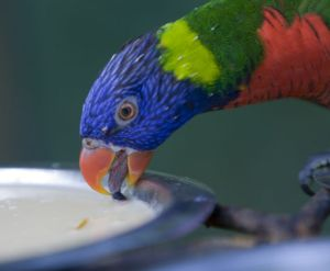 A rainbow lorikeet drinking - note the long, delicate tongue, used to sample nectar.